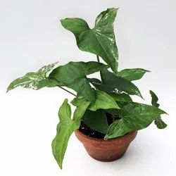 Well Watered Avenue Arrowhead Vine Plant