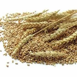 100 Kg Natural Wheat