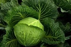 A Grade Green Cabbage, Packaging Type: Carton, Packaging Size: 20 Kg