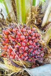 Palm Oil Nuts, Grade: A Grade