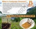 Bigstep Cordyceps Sinensis Caterpillar Fungus, Ophiocordyceps Sinensis, His Pharmaceuticals