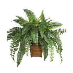 Fast Growth Decorative Plant, For Decoration