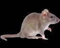 Offline Residential Pestico Rodent Control, Kolkata