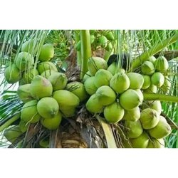 Fresh Coconut, Coconut With Husk,Coconut Without Husk,Tender Coconut,Dried Coconut