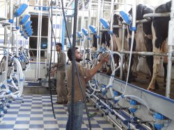 Herringbone Milking Parlor
