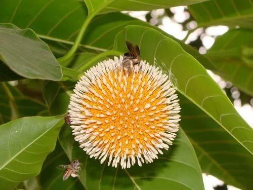 Green Kadamb Plant, For Timber