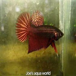 Wild copper smaragdina fish