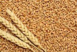 Golden 25 Kg Mp Sharbati Wheat