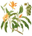 Champa Mangolia Floral Water
