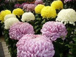 Well Watered Chrysanthemum Flower Plant, For Garden, Summer Bloom