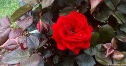 Gift Pack Fresh Red Rose