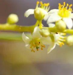Frankincense Hydrosol Floral Water