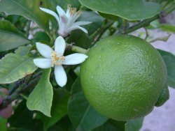 Lime Floral Water