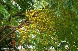 Nimboli Fruit, Packaging Type: Jute Bag, Packaging Size: 50 Kg