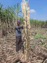 Commercial Sugarcane Sticks