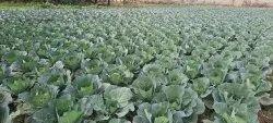 Leafy Jharkhand Fresh Cabbage, Plastic Bag, 20 Kg