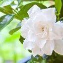 Jasmine Sambac Floral Water