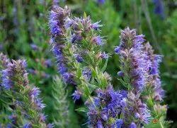 Hyssop Floral Water