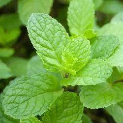 Mentha Piperata Oil
