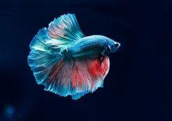 Aquaruim Betta Fish