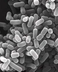 Aquatic Lactobacillus Plantarum, Packaging Type: Packet, Packaging Size: 1 Kg & 5 Kg