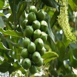 Sivaroma Macadamia Intergrifolia Macadamia Carrier Oil