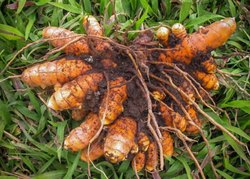 Curcuma Longa Salem Fresh Turmeric Rhizome, For Agriculture
