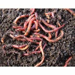 Australian Breed Eisenia Fetida live Earthworms Vermiculture