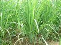 Vetiver Oil (South India)