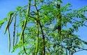 5 Years Moringa Drum Stick Contract Farming, Type Of Industry Business: Organic, 5 Acres
