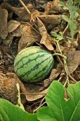 A Grade Fresh Watermelon, Packaging Type: PP Bag