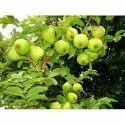 4 Year Thai Guava Contract Farming, Type Of Industry Business: Horticulture, 1 Acres