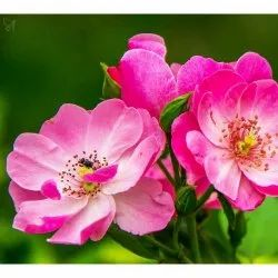 Rose Otto Hydrosol Floral Water