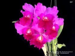 Pink Ronald Hausermann Cattleya Medium Size Orchid