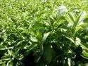 5 Years Stevia Contract Farming, Type Of Industry Business: Organic, 5 Acres