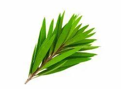 Tea Tree Co2 Extracts Oil