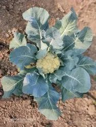 White Maharashtra A Grade Fresh Cauliflower, Gunny Bag, 10 Kg