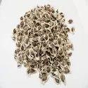 Moringa Seeds Wingless