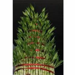 Green 8 Layers Lucky Bamboo, For Garden