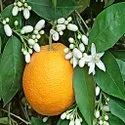 Orange Blossom Hydrosol
