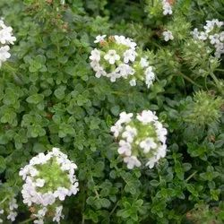 Thyme White Floral Water