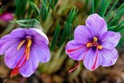 Saffron Zafran Kesar Floral Water