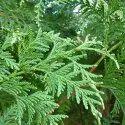 Cedarleaf Thuja Floral Waters
