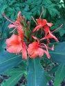 Hedychium Hydrosol Floral Water