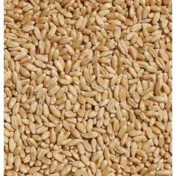 Dried Food Wheat Seed, For Agriculture, Packaging Type: Loose