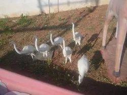 FRP Small Birds