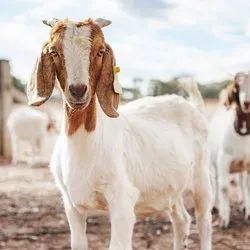 Black Goat, Meat, 20-22 Kgs