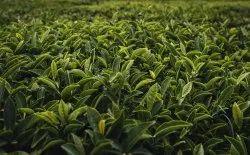 100% Green Organic Tea Leaves, Grade: A Grade, Packaging Type: Loose