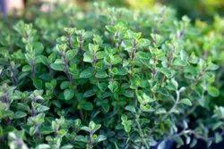 Fresh Oregano Leaves, Packaging Type: PP Bag, Packaging Size: 5 Kg