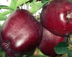 Himachali A Grade Fresh Red Himachal Apple, Packaging Size: 10 Kg, Packaging Type: Carton